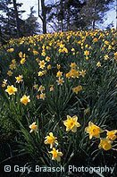 Daffodils, Prospect Park, Brooklyn, New York