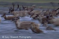 Caribou migration in Arctic National Wildlife Refuge, Alaska