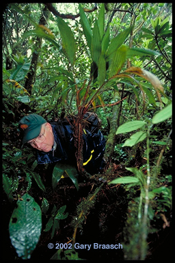 Dr. Alan Pounds searches for Bufo periglenes